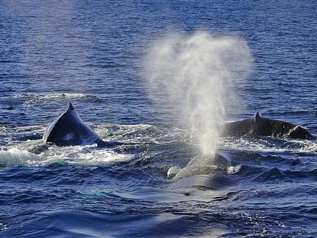 Whales Playing in Tasman Sea Near Sydney