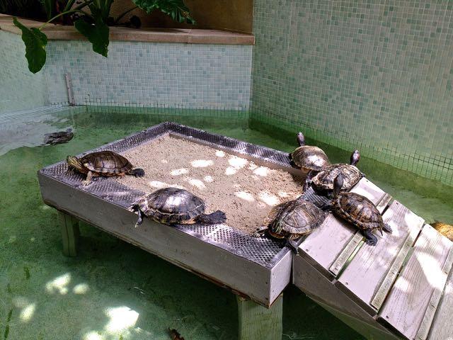 turtle pool at hyatt key west