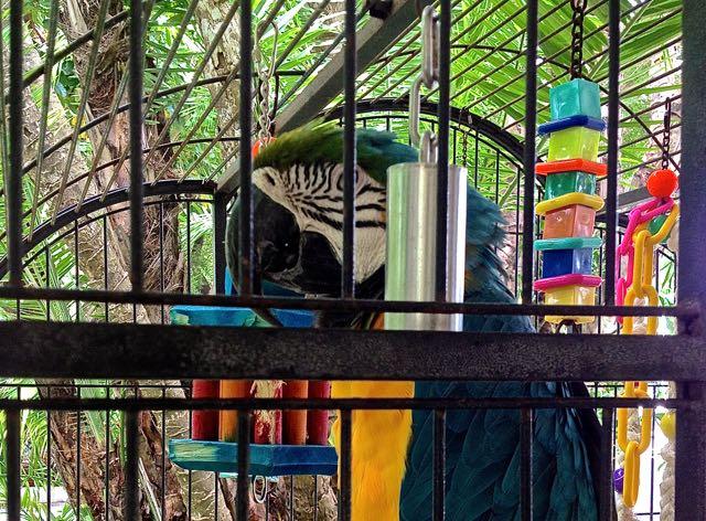parrot at hyatt key west