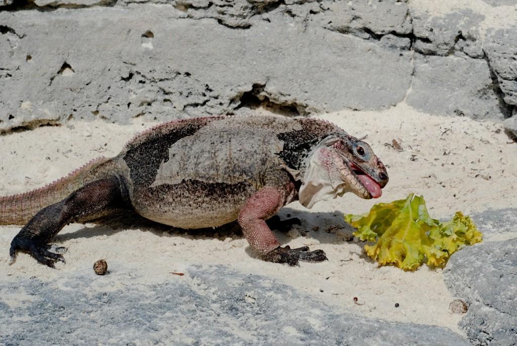 iguanas at bitter guana cay exuma bahamas